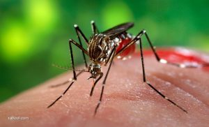 As if bed bugs were not enough – mosquitoes in dubai!