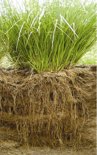 Vetiver – deep roots with benefits!